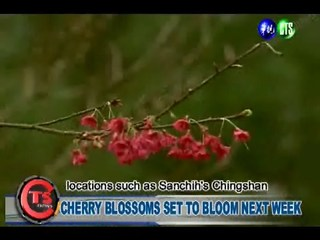 CHERRY BLOSSOMS SET TO BLOOM NEXT WEEK