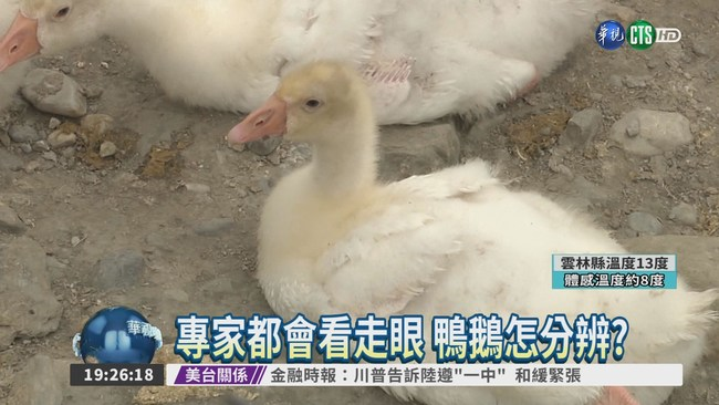 鵝鴨分不清? 通報H5N6鬧烏龍