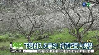 低溫水氣足 梅花盛開如降雪