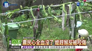 """山大王拔蘿蔔! 恆春成立""""趕猴隊"""""""