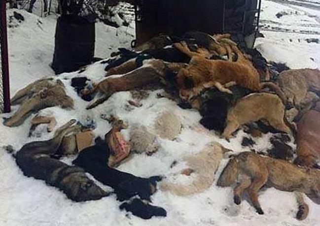 殘忍! 俄國為迎接世界盃 花5600萬屠殺流浪狗 | 華視新聞