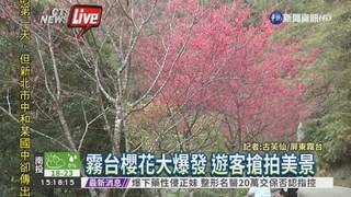 霧台櫻花大爆發 遊客爭相朝聖