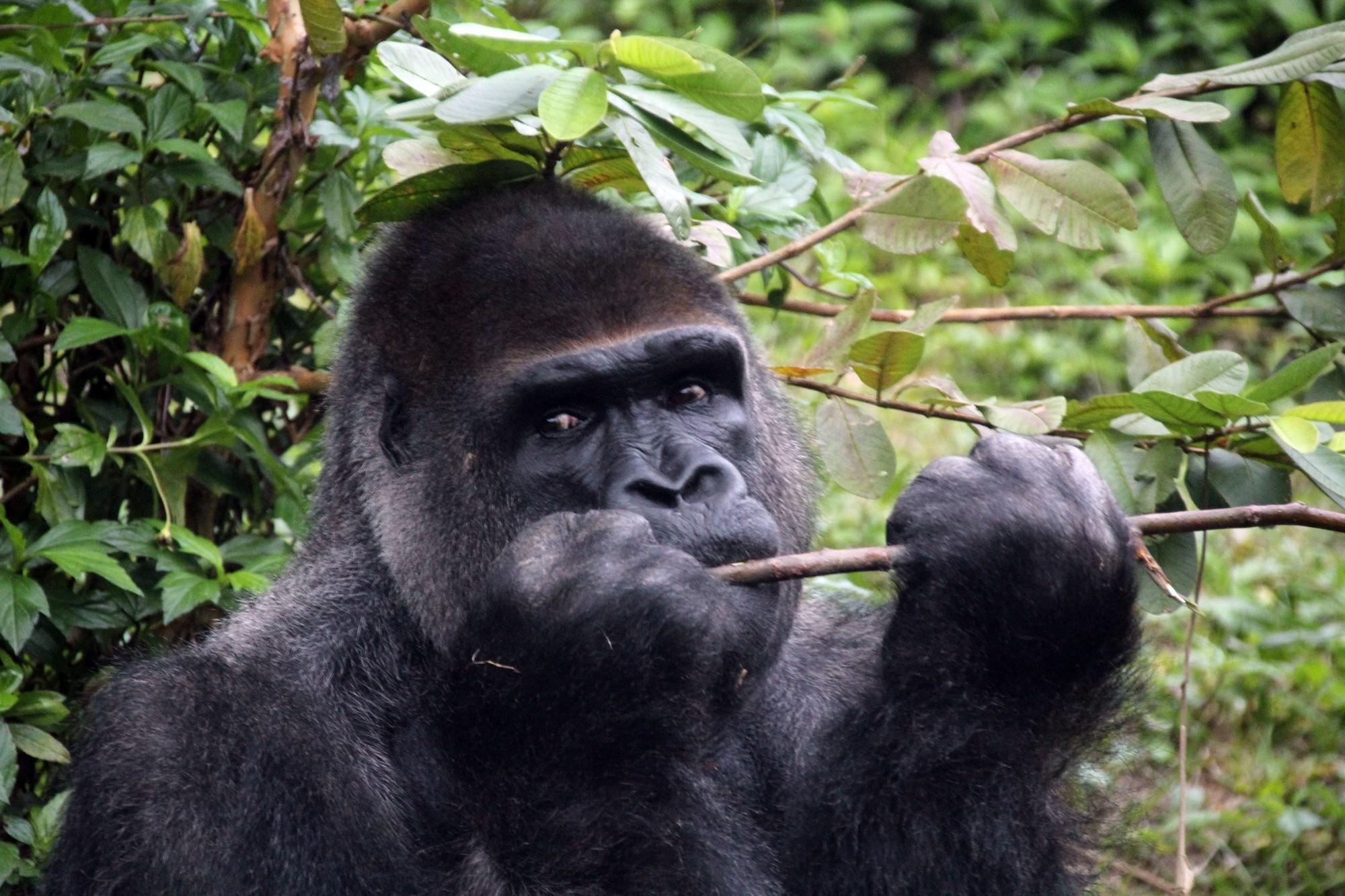 金剛猩猩「寶寶」赴荷蘭傳宗接代 柯P:精子去就好了?