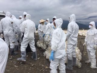 麥寮養鴨場檢出H5N2禽流感 撲殺6626隻鴨