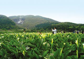 竹子湖海芋季登場 大地處教你這樣輕鬆一日遊
