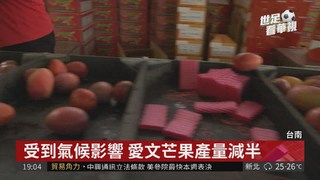 愛文芒果上市 銷韓藥檢仍有爭議