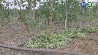 【晚間搶先報】木瓜園遭風雨摧殘 農損至少323萬元