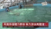 侏儒抹香鯨搶救野放 心肺衰竭亡