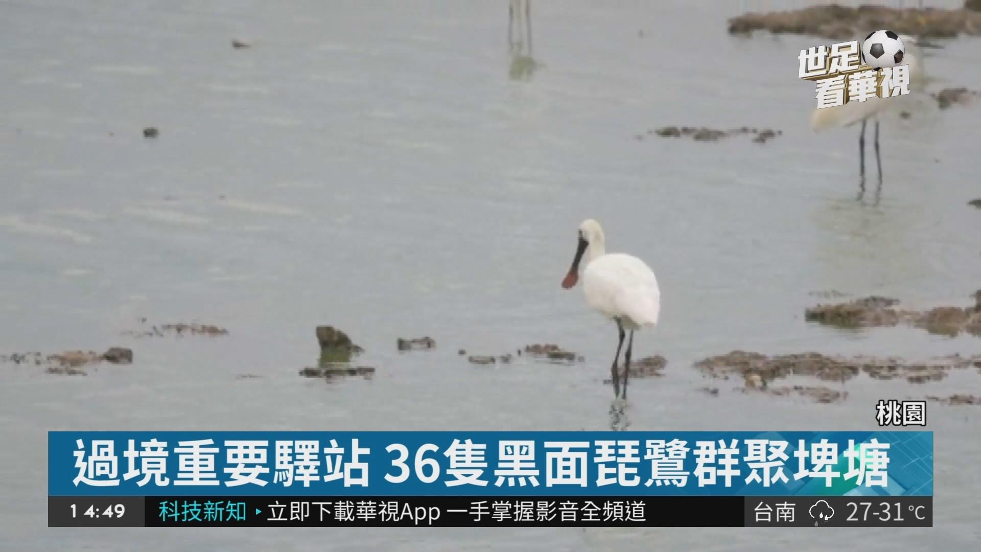 稀客過境 36黑面琵鷺群聚埤塘