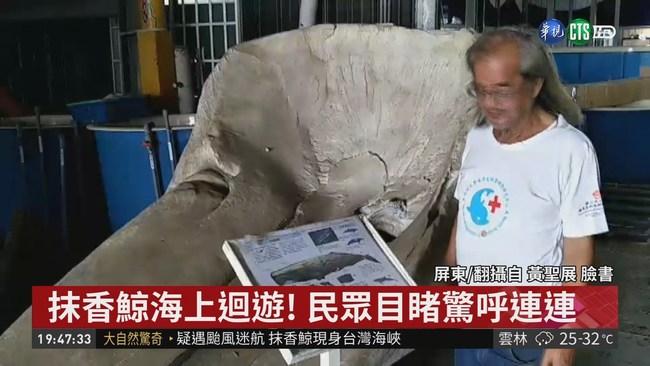 抹香鯨疑颱風迷航 現身台灣海峽
