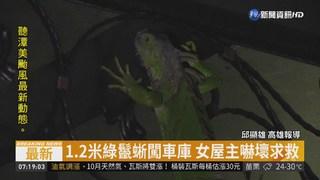 綠鬣蜥闖民宅 女屋主返家嚇壞