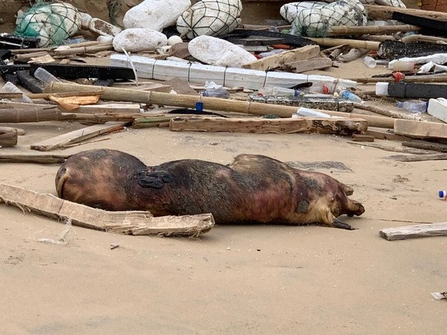 第一例! 金門死豬驗出非洲豬瘟陽性 全面檢疫訪視 | 華視新聞