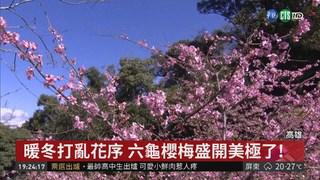 暖冬亂花序 高雄六龜櫻梅盛開美極了!