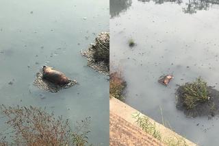 嘉義市驚現死豬? 打撈後發現是狗