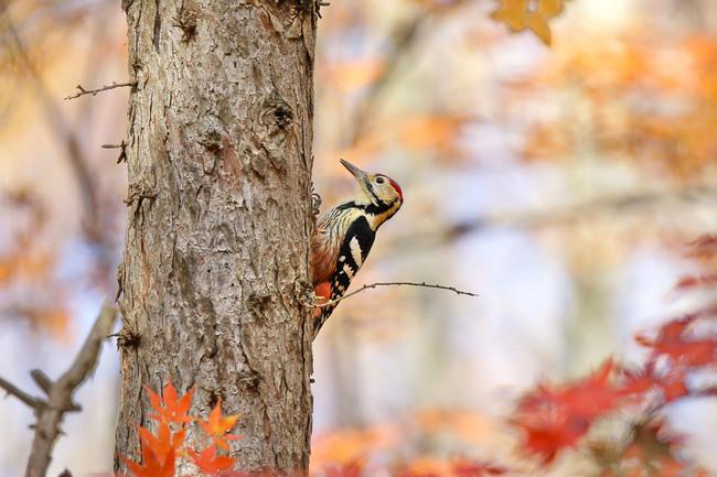 金門科技啄木鳥 找到199株危木先伐除 | 華視新聞