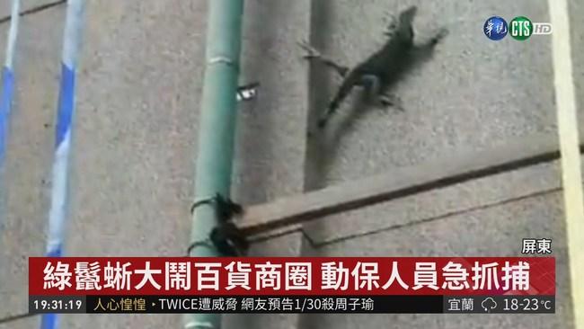 屏東綠鬣蜥危害 還闖市區百貨大鬧 | 華視新聞
