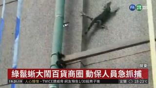 屏東綠鬣蜥危害 還闖市區百貨大鬧
