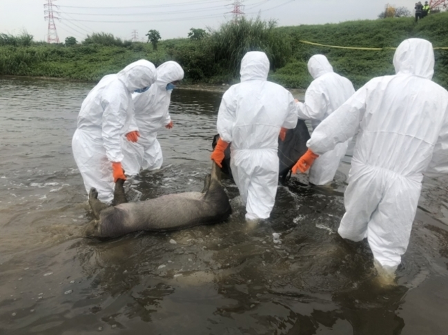 最新/桃園蘆竹發現2病死豬 帶回檢驗非洲豬瘟病毒 | 華視新聞