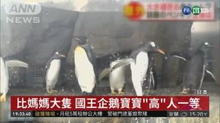 比媽媽大隻! 日本國王企鵝寶寶搶鏡