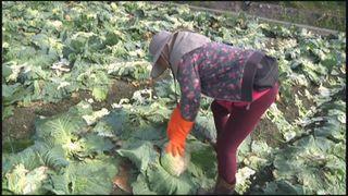 農委會推高麗菜登記制 保障每公斤至少6元收購