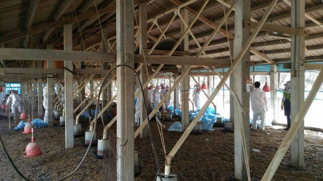 雲林爆發H5N2禽流感 撲殺上萬隻雞 | 華視新聞