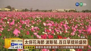 【台語新聞】嘉義太保花海節 波斯菊.百日草盛開