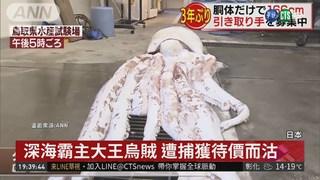 日本鳥取捕獲大王烏賊 漁民驚呼