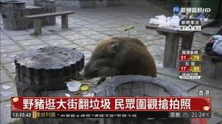 香港野豬逛大街 官方籲別餵食