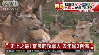 史上之最! 奈良鹿攻擊人 去年逾2百傷