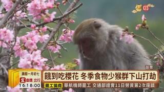 【台語新聞】潑猴大鬧武陵 遊客賞櫻遭搶食攻擊