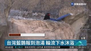 台東泡湯見嬌客 台灣藍鵲入浴戲水