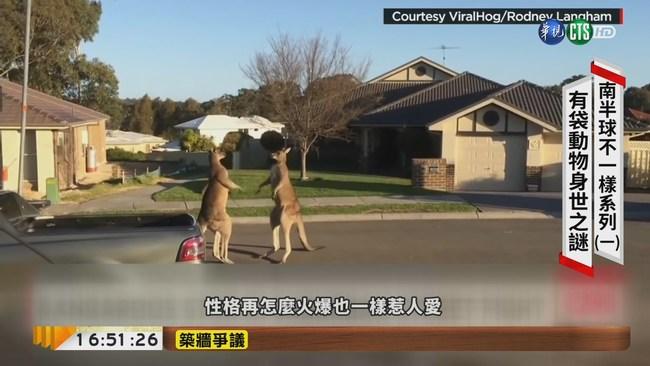 【台語新聞】前進澳洲 揭開袋鼠.無尾熊身世之謎 | 華視新聞