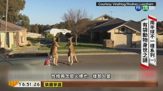 【台語新聞】前進澳洲 揭開袋鼠.無尾熊身世之謎