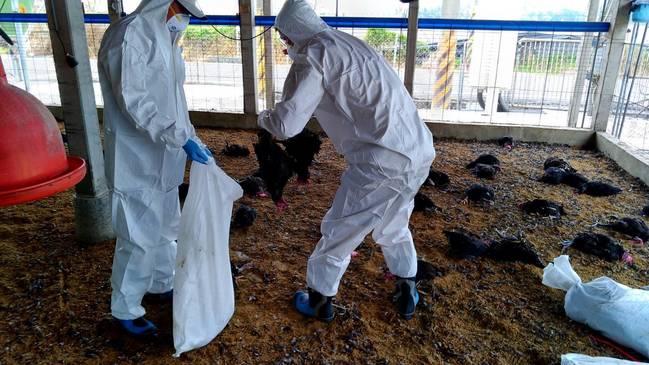 屏東確診禽流感! 撲殺3萬隻黑羽土雞 | 華視新聞