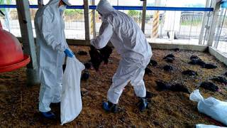 屏縣爆H5N2亞型禽流感 近3.2萬土雞全撲殺