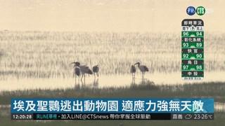 埃及聖䴉威脅本土鳥 林務局撲殺挨批