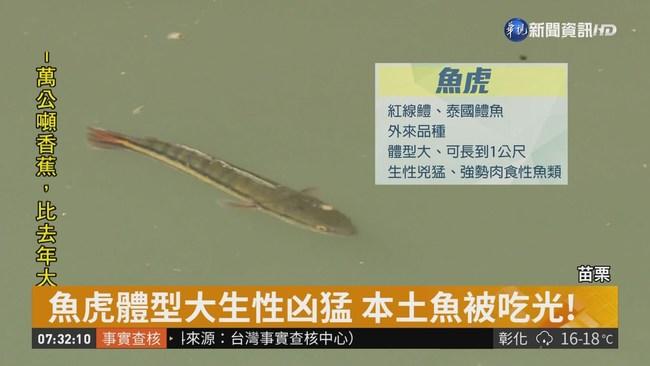 疑遭人放生 魚虎入侵破壞景山溪生態 | 華視新聞