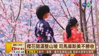 【台語新聞】逾千棵櫻花樹盛開 司馬庫斯美呆了!