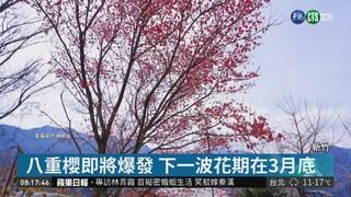 逾千棵櫻花樹盛開 司馬庫斯美呆了!