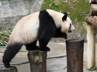 接收中國熊貓 陳吉仲:多關心台灣黑熊.石虎