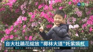 台大杜鵑花節登場 滿園春色掀賞花潮