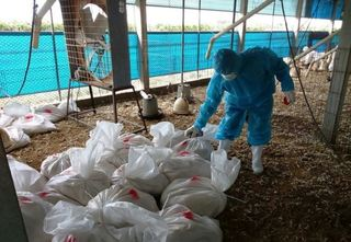 彰化爆第3起禽流感病毒 撲殺1.6萬隻土雞