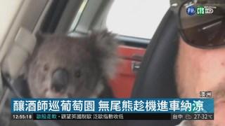熱到受不了 無尾熊鑽進汽車吹冷氣