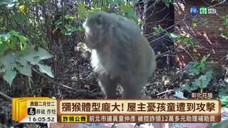 """【台語新聞】超大""""美猴王""""! 現蹤花壇民宅吃水果"""