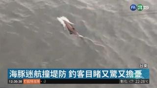 富岡漁港釣客目擊 海豚迷航撞堤防