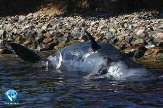 慟! 抹香鯨帶球擱淺 肚中竟藏22公斤塑膠垃圾