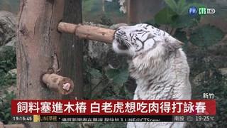 """看老虎""""打詠春""""! 動物園互動體驗吸睛"""