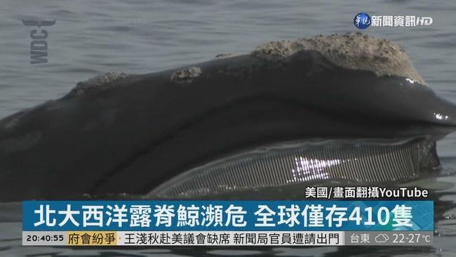 北大西洋露脊鯨瀕危 全球僅存410隻 | 華視新聞