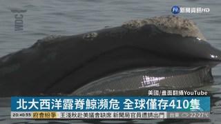 北大西洋露脊鯨瀕危 全球僅存410隻