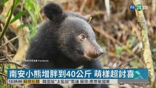 南安小熊增胖到40公斤 萌樣超討喜
